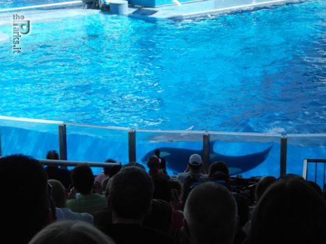 SeaWorld Orlando L'orca che uccise torna ad esibirsi