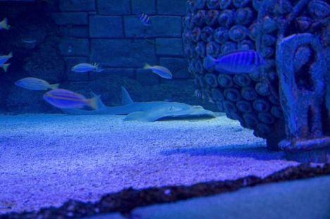 Sea Life Jesolo Arriva lo squalo chitarra nella vasca oceanica