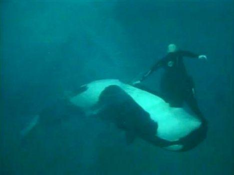 SeaWorld San Diego L'addestratore trascinato dall'orca, ecco il video del 2006