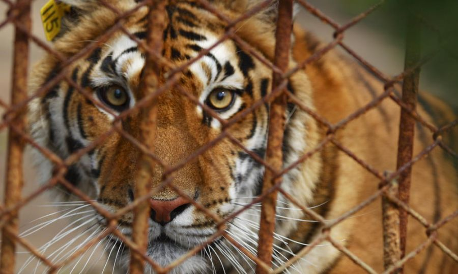 Parco Martinat Il proprietario dell'ex parco sbranato dalle tigri