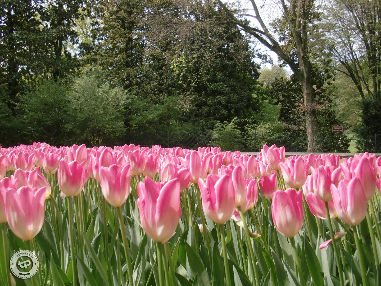 Parco Giardino Sigurtà Tulipanomania per presentare il 2016