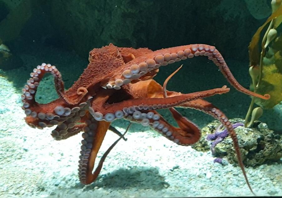Acquario di Genova Il polpo gigante vero (e quello robotico)